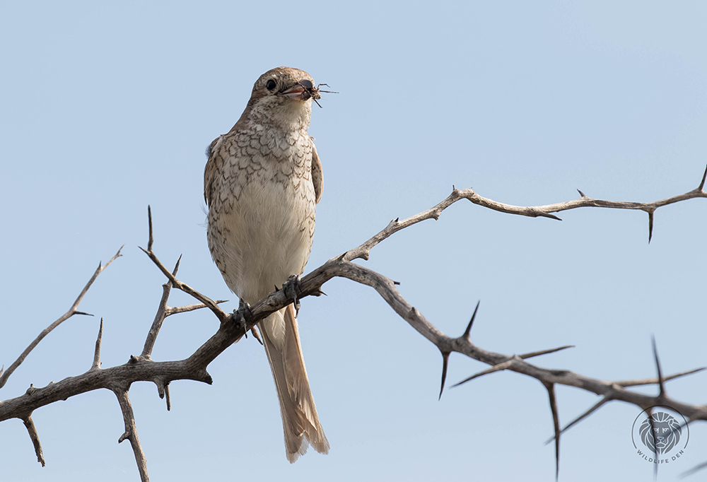 Red-backed shrike F with spider 2