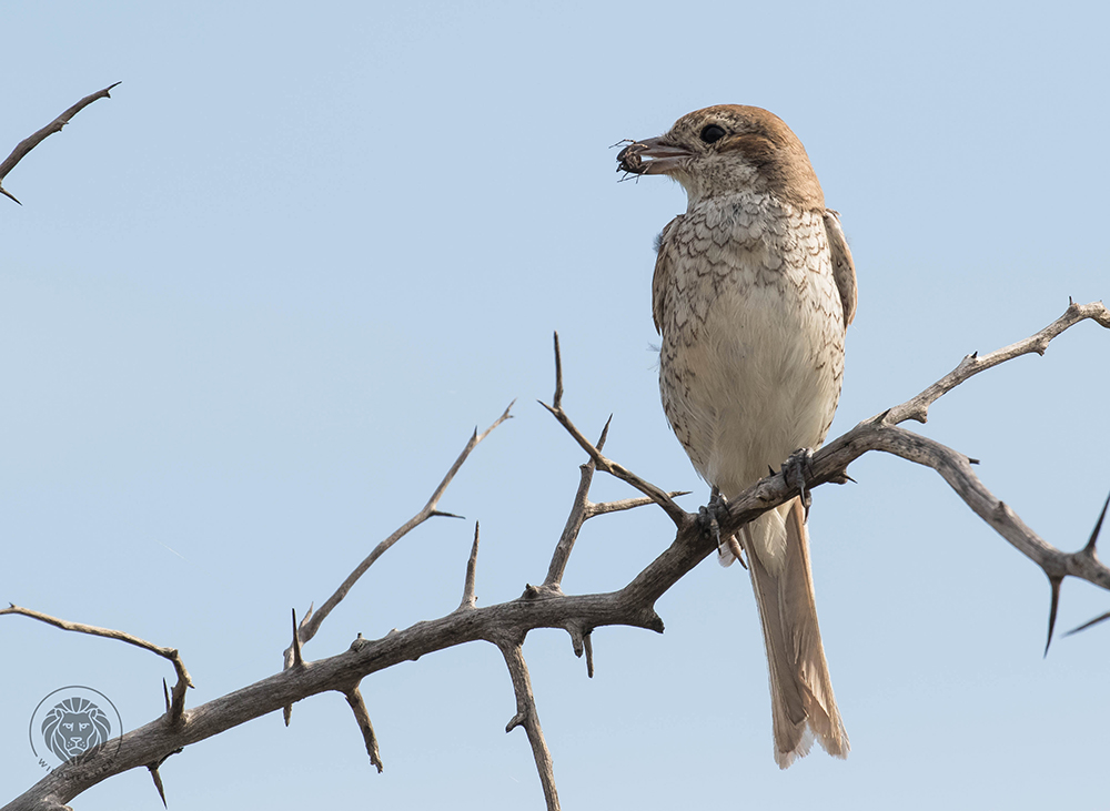 Red-backed shrike F with spider 3