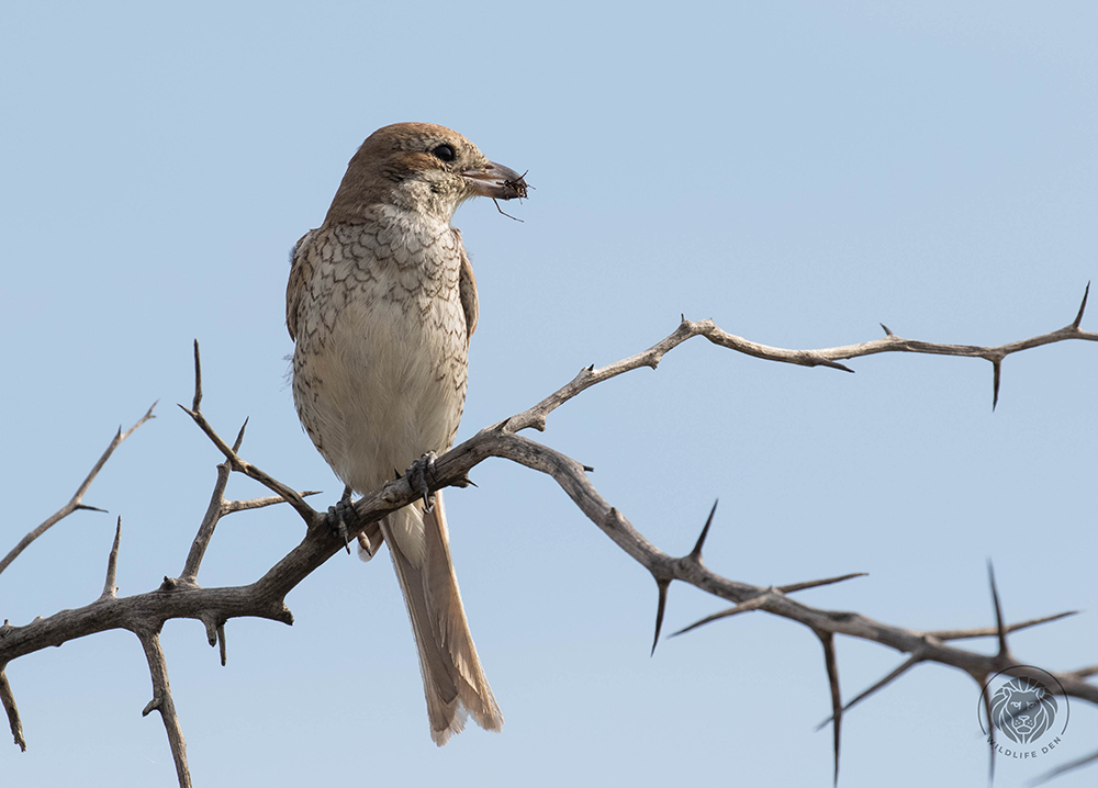 Red-backed shrike F with spider