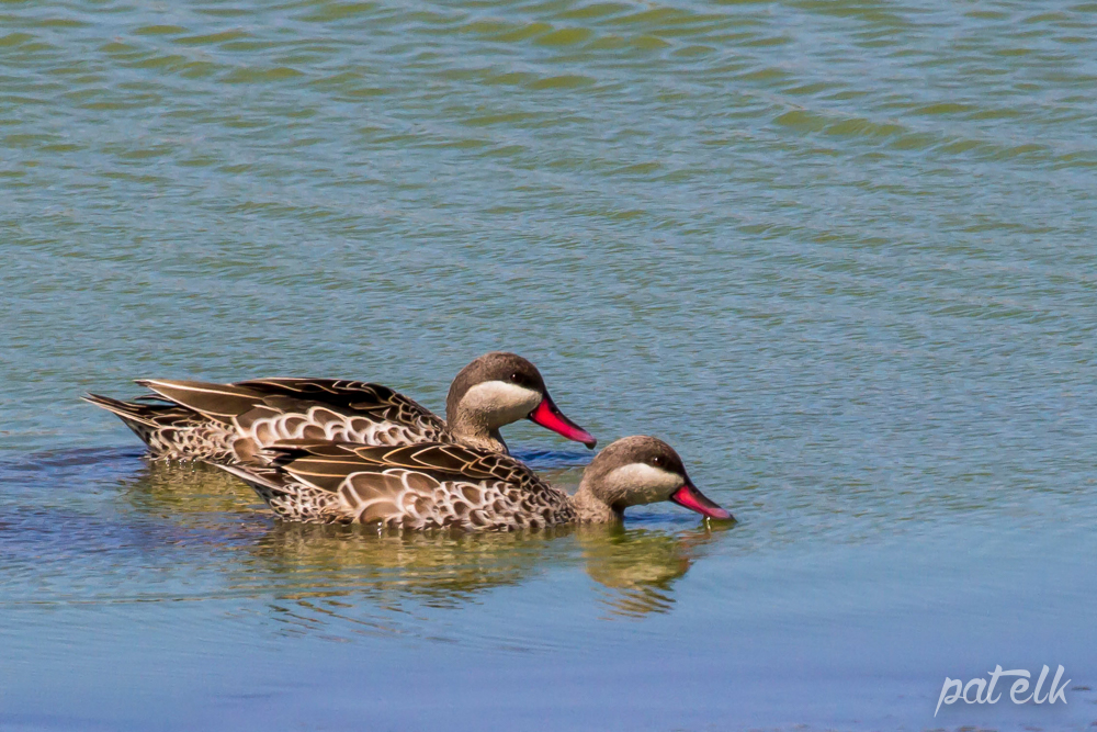 Red bill teal