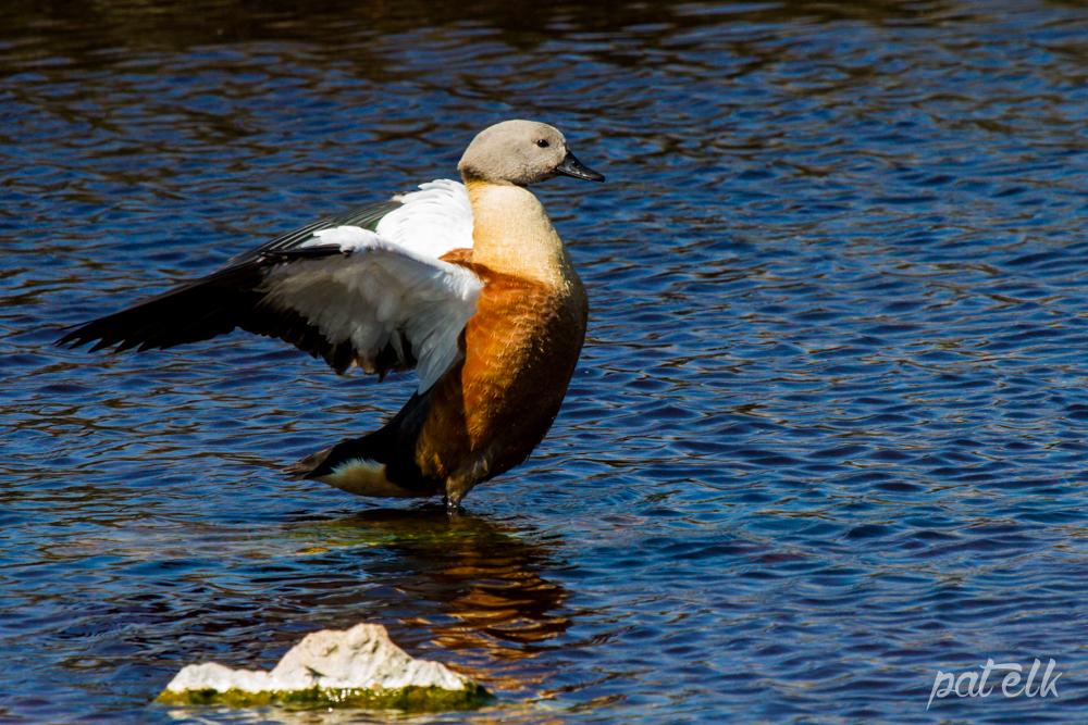 Shelduck Male Wings
