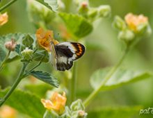 Smoky Orange Tip Butterfly