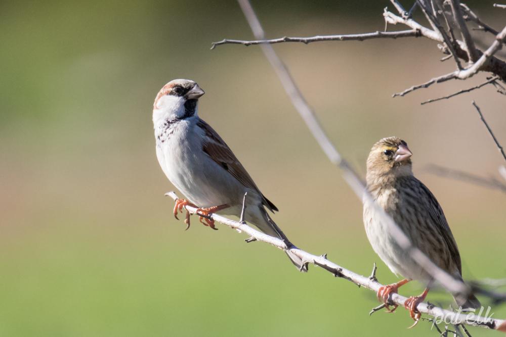 Sparrow? 2