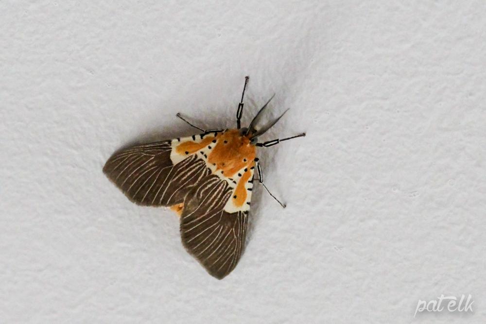 Specious Tiger Moth Asota speciosa
