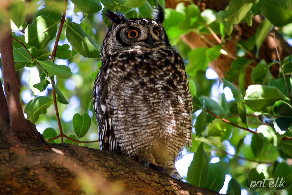 Spot owl 2