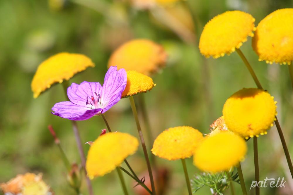 Stinkweed Oncosiphon grandiflorum Grootstinkkruid