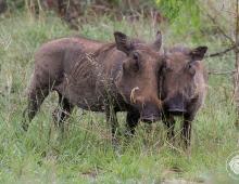 Warthog cuddles