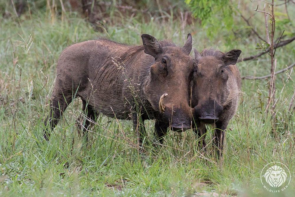 Warthogs cuddling