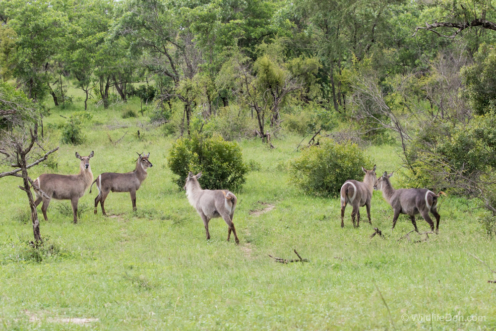 Waterbuck group