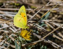 African Clouded Yellow Butterfly