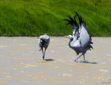 Dance of the Blue Cranes