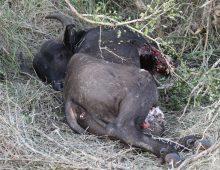Lion Eating Buffalo Calf