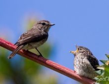 Dusky Flycatcher Feeding Young