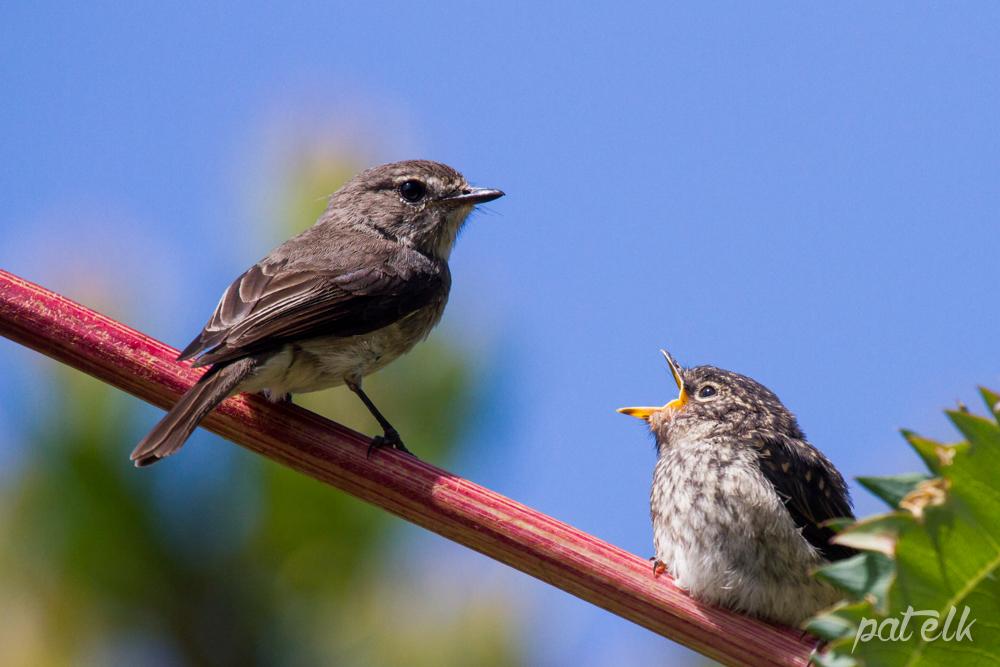 d flycat feed 6