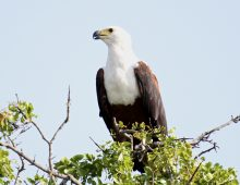 The Call Of The Fish Eagle