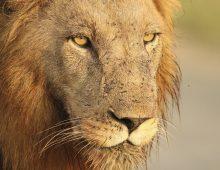 Those Ferocious Lions