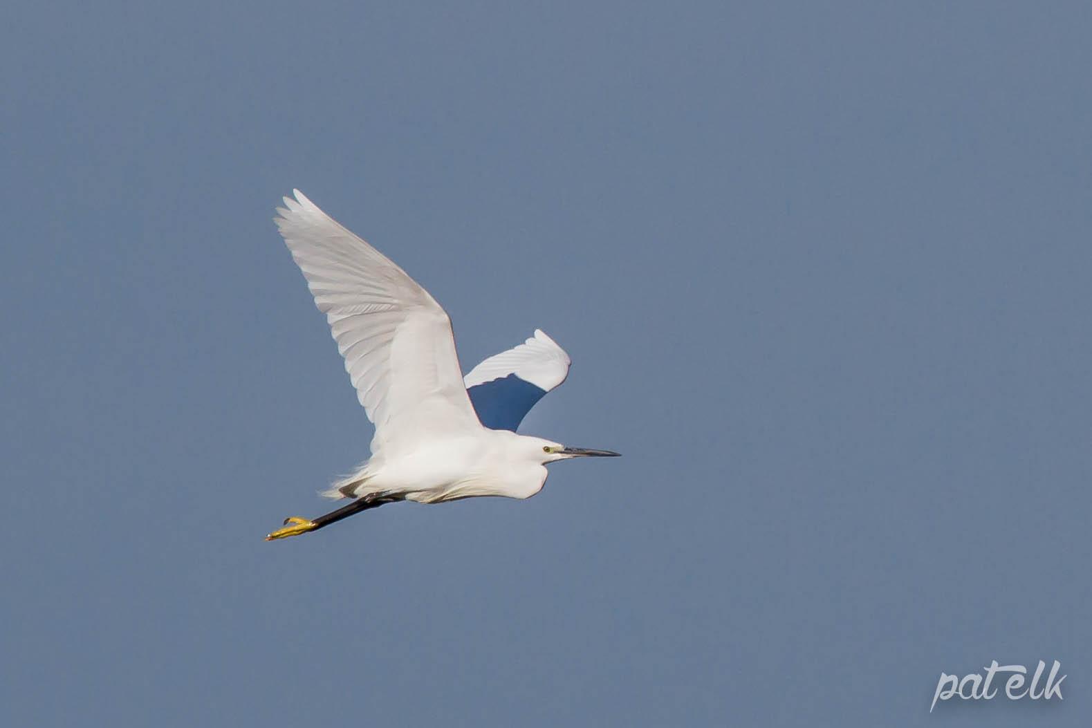 litt egret