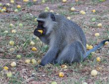 The Monkey And The Marula