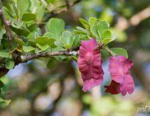 Purple Seedpod