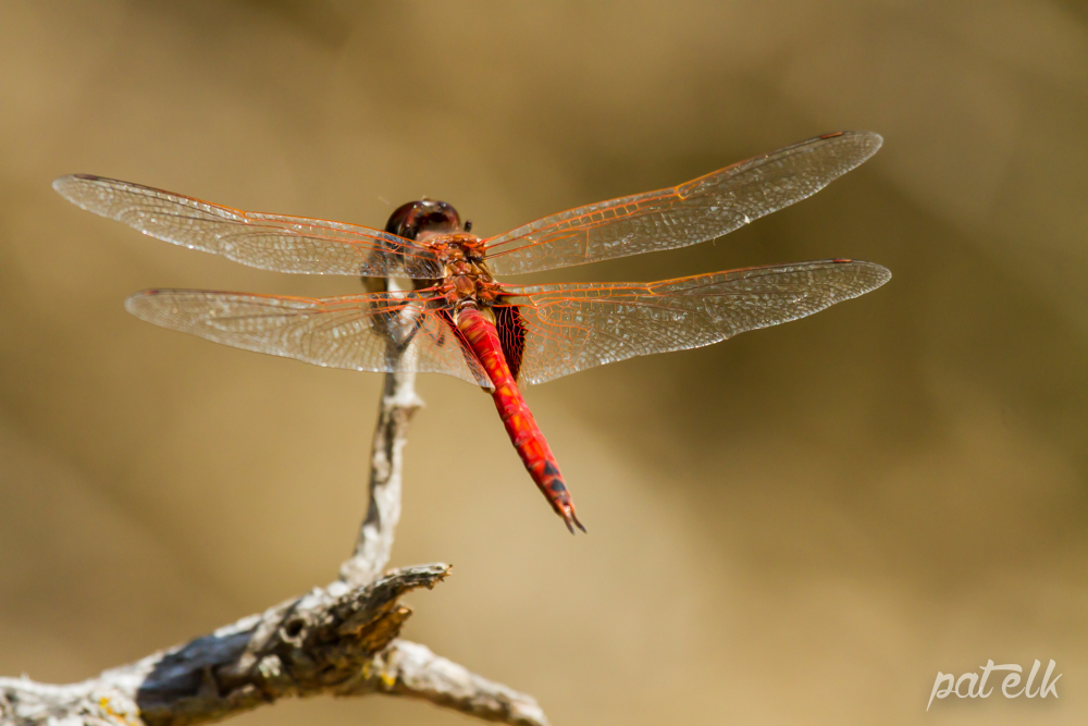 red dragfly