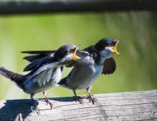 Adult White-Throated Swallow Feeding The Young