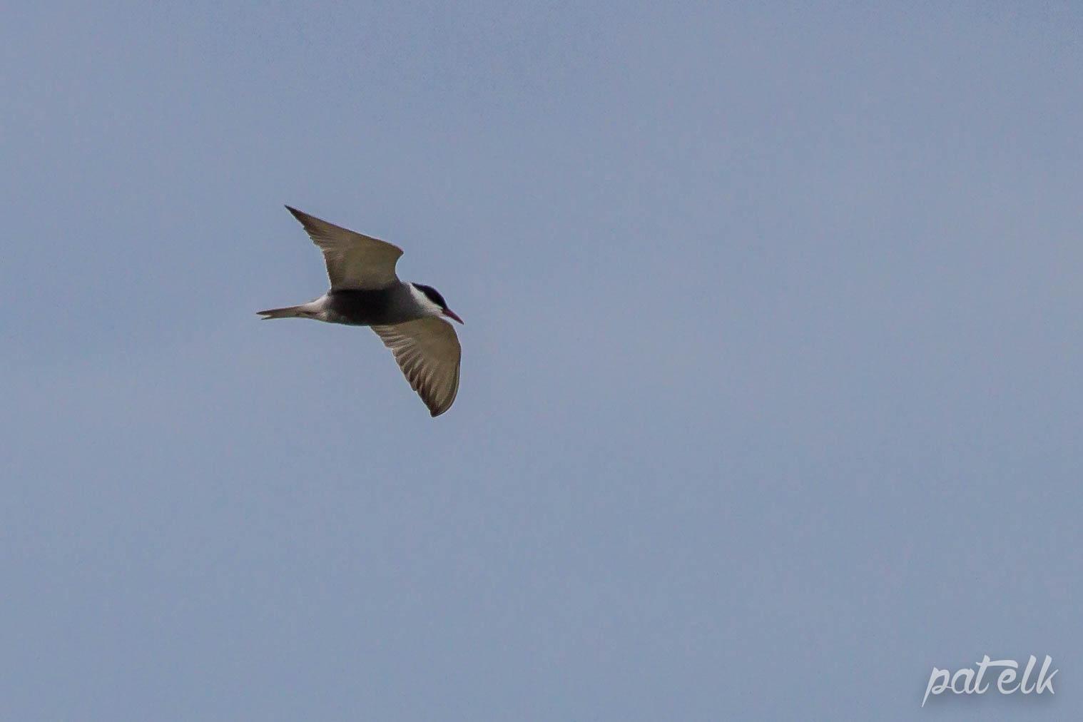 whisk tern