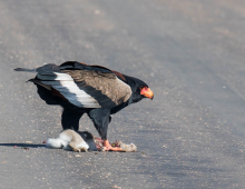 Bateleur Steals Kill From Yellow-Billed Kite