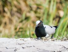 Blacksmith Plover With Eggs