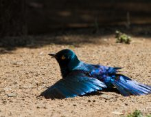 Cape Glossy Starling Sunning Himself