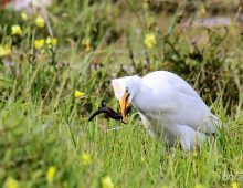 Western Cattle Egret Eating A Lizard