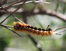 Lappet Moth Caterpillar With Host Eggs