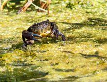 Cape River Crab