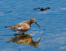 Curlew Sandpiper In Breeding Colours
