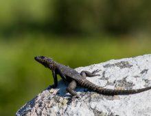 Girdled Lizard