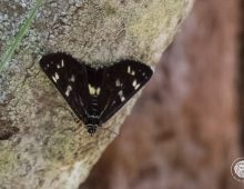 Grapevine Moth