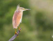 Squacco Heron