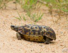 Spekes Hingeback Tortoise