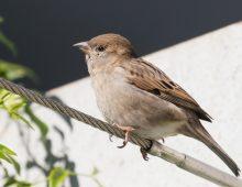 House Sparrow Australia