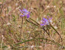 Fleur-de-lys moraea