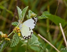 African Common White Butterfly