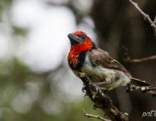 Black Collared Barbet