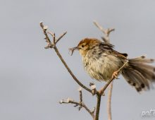 Levaillant's Cisticola With A Spider