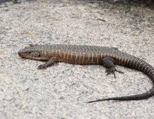 Giant Plated Lizard