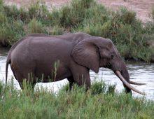 Elephant Tusker – Masthulele