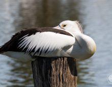 Pelican, Australian