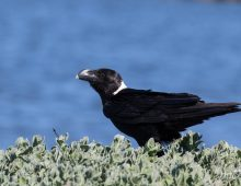 White-Necked Raven