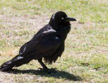 Raven Australia