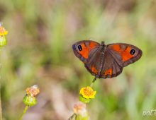 Silver-Bottom Brown Butterfly