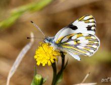 Meadow White Butterfly