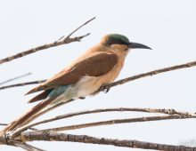 Juvenile Southern Carmine Bee-eater